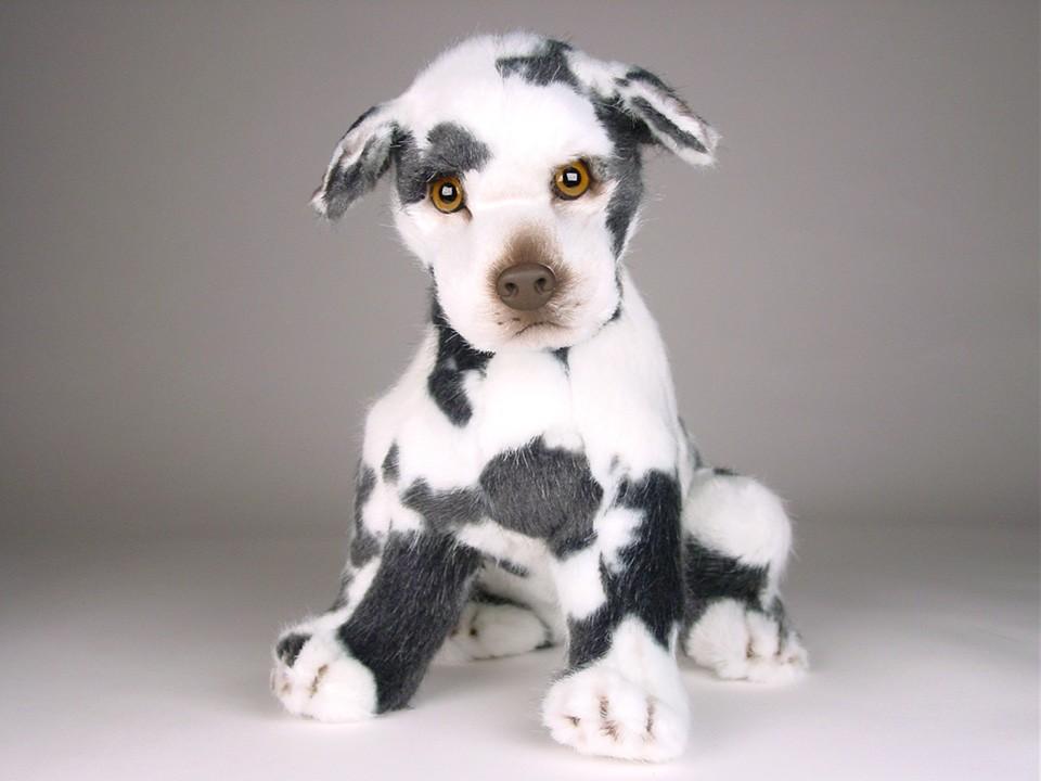 Harlequin Great Dane Puppy 3311