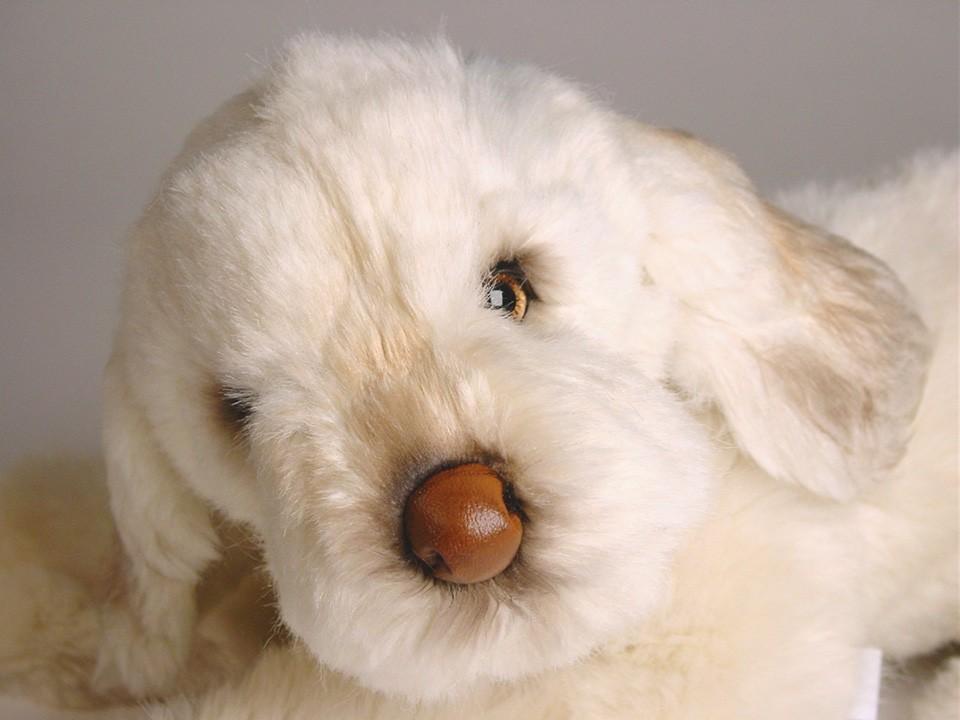 Spinone Italiano Puppy 2263 Spinoni Italiano Dogs